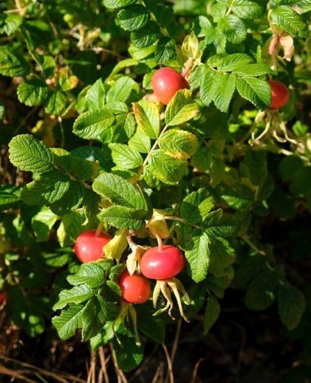 Veel rozebottels zijn ook eetbaar en bevatten veel vitamine C. wildplukken, boeken, tips, eetbare planten en bloemen zoeken