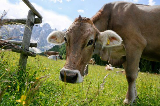 Koeien in de wei in Val Venegia, duurzaam reizen, rondreis Trentino, Italie, duurzame, groen, groene