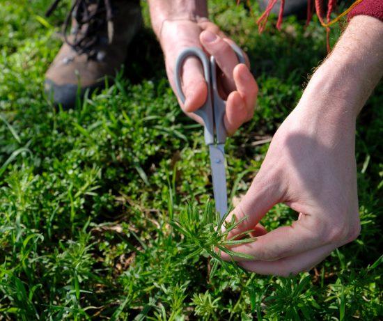 Kleefkruid is een van de eetbare wilde planten die we zoeken. Wildplukexpeditie in Amsterdam-Noord, wildplukken, eetbare wilde planten