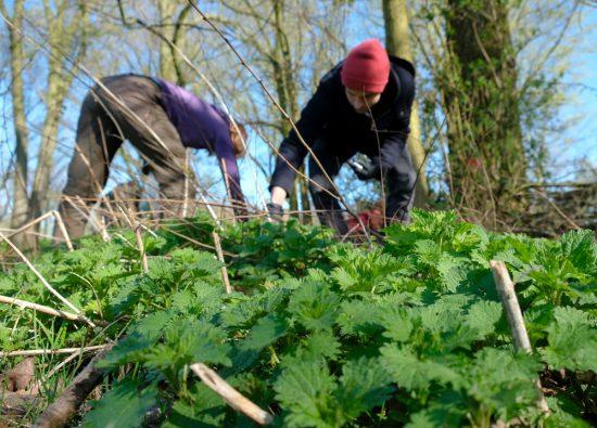 Op zoek naar malse topjes van de eetbare brandnetel. Wildplukexpeditie in Amsterdam-Noord, wildplukken, eetbare wilde planten