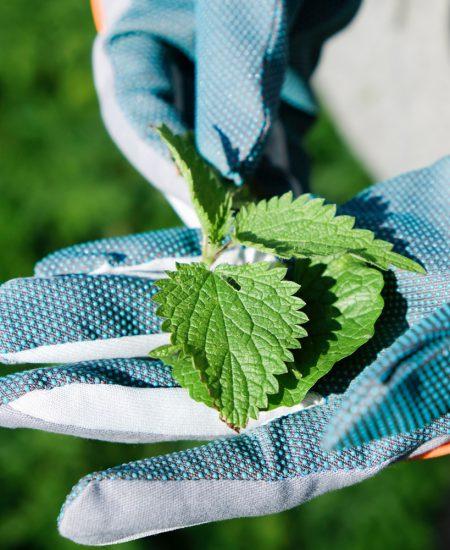 Brandnetel, geen plantje om zonder handschoenen aan te pakken. Wildplukexpeditie in Amsterdam-Noord, wildplukken, eetbare wilde planten
