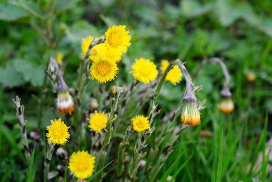 Klein hoefblad is een van de eetbare wilde planten die ook een geneeskrachtige werking zou hebben. Wildplukexpeditie in Amsterdam-Noord, wildplukken, eetbare wilde planten
