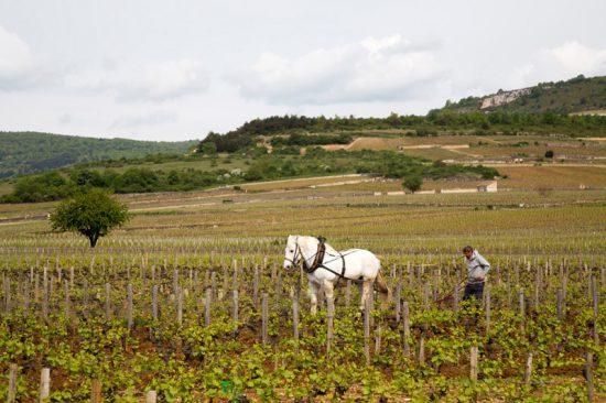 Even terug in de tijd in de wijngaarden van de Bourgogne, Fietsen in de Bourgogne, Frankrijk