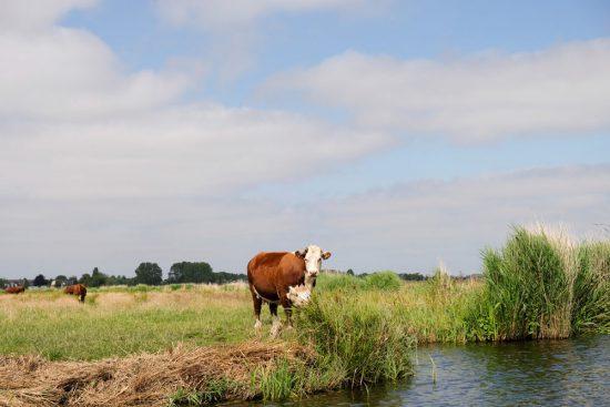 De koeien worden met boten naar de weilanden gebracht . Wetlands Safari, kano tour in Ilperveld, de groene achtertuin van Amsterdam, n