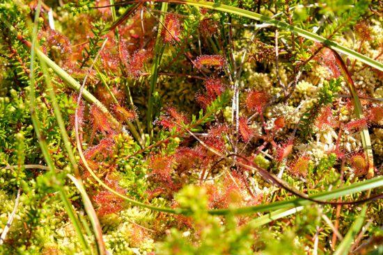 Zonnedauw, een vleesetend plantje op het trilveen in natuurgebied Ilperveld