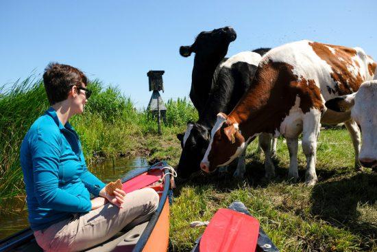 Koeien zijn niet weg te slaan bij de kano's . Wetlands Safari, kano tour in Ilperveld, de groene achtertuin van Amsterdam, n