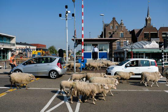 Schapen lopen dwars door Zaandam, op weg naar het park waar ze zomers grazen