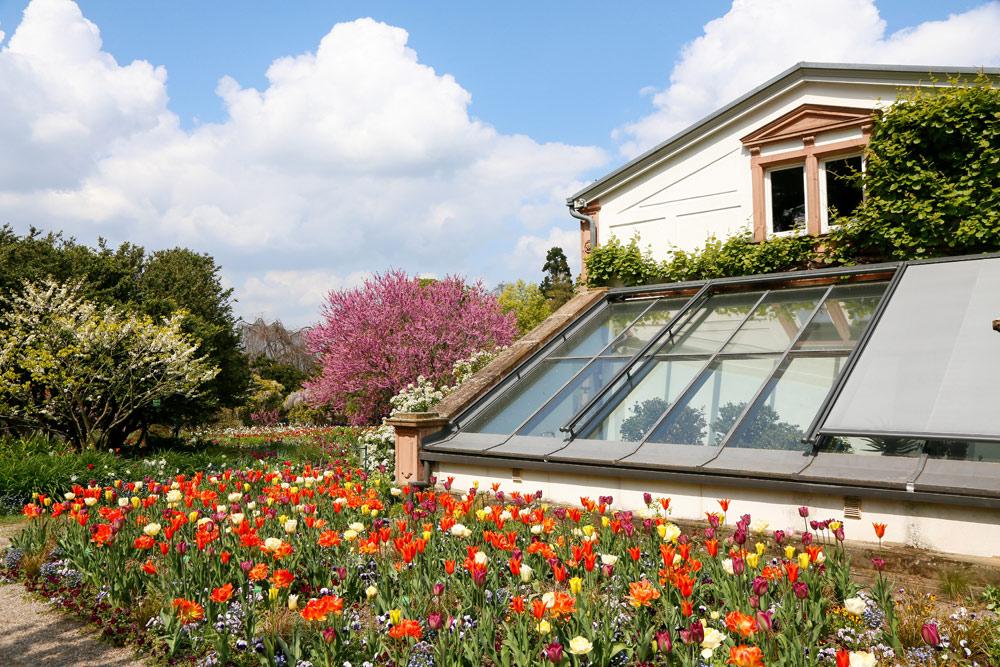 Tulpen, tulpen, tulpen, het lijkt Nederland wel hier in Weinheim. Fietsvakantie Die Bergstrass, Heidelberg, Duitsland, fiets, fietsroute, rondreis, standplaats