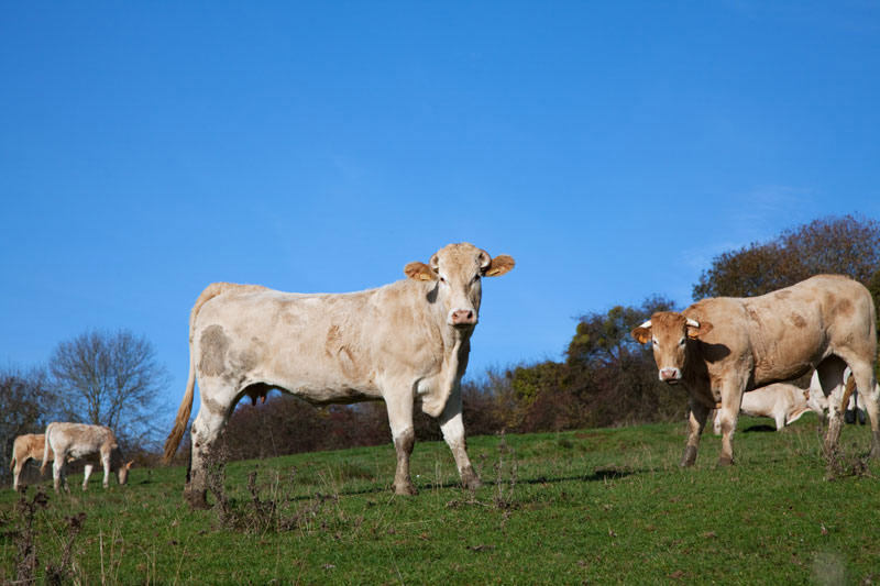 Koeien in de wei in La Gaume, België. Rondreis La Gaume, Wallonie, Belgie, hotspots, bezienswaardigheden, roadtrip