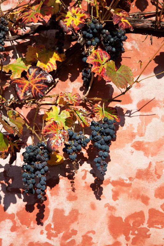 Rijpe druiventrossen in Torgny, La Gaume. Rondreis La Gaume, Wallonie, Belgie, hotspots, bezienswaardigheden, roadtrip