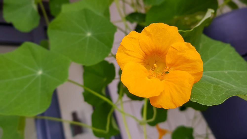 De Oost-Indische kers is een eetbare plant, zowel bladeren als de bloemen kun je eten
